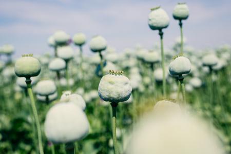 codeine: Opium poppy field