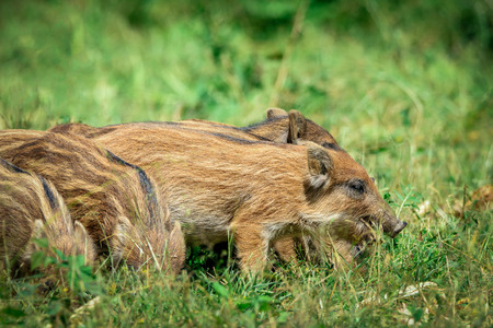 babes: wild boar baby in the forest Stock Photo