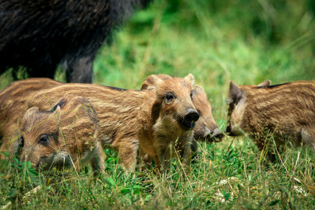 wild boar baby in the forest Stock Photo
