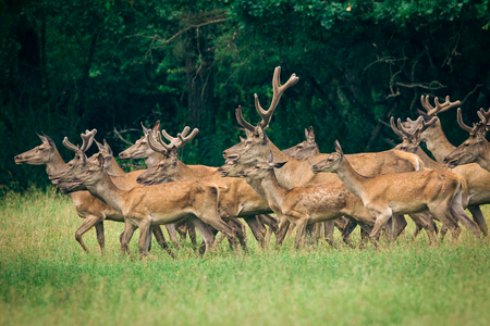 herd of deer: Herd of deer red