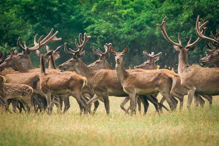 herd of deer: Red deer herd Stock Photo