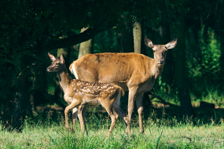 mother and baby deer: Red Deer mother and calf keeping close together
