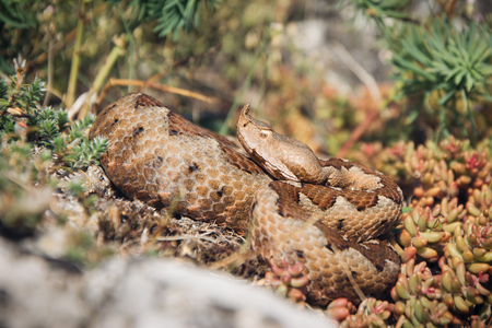 viper: Horned viper in nature on rocks Stock Photo