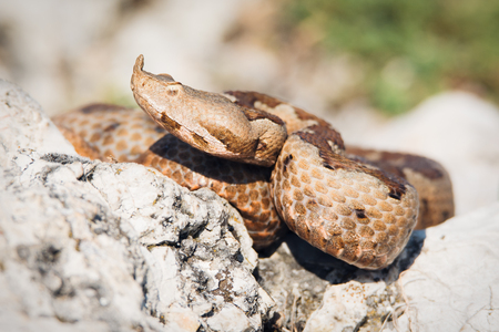 Horned viper in nature on rocks Stock Photo