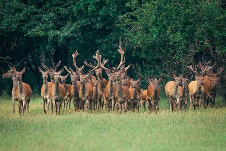rutting: Red deer