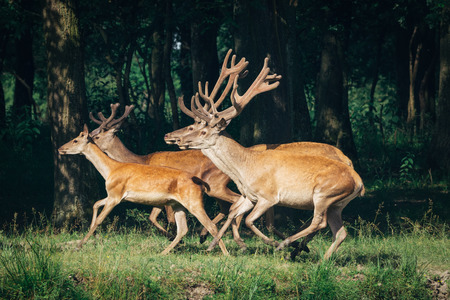 red deer in a forest Stock Photo