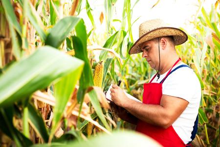 champ de mais: Fermier vérifiant son champ de maïs Banque d'images