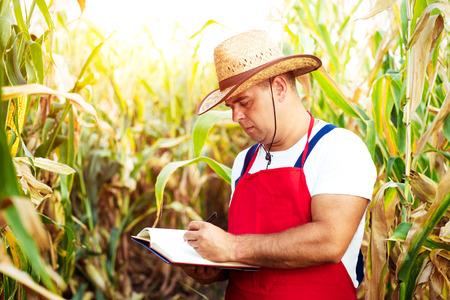 champ de maïs: Fermier vérifiant son champ de maïs Banque d'images