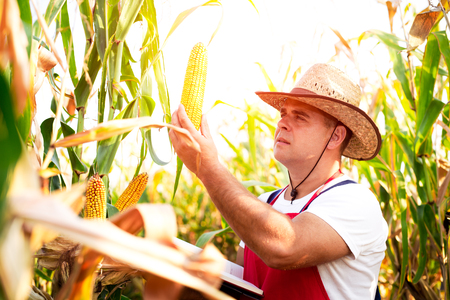 concern: Farmer checking his cornfield Stock Photo