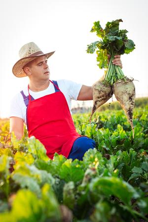 Farmer die Überprüfung der Qualität der Zuckerrüben Standard-Bild