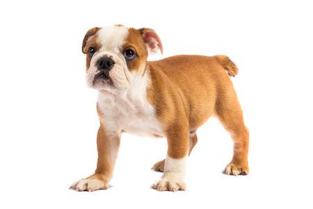 bulldog puppy: Cute puppy - english bulldog puppy Stock Photo