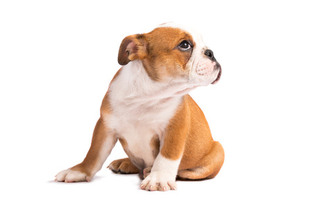 english bulldog puppy: Cute puppy - english bulldog puppy Stock Photo
