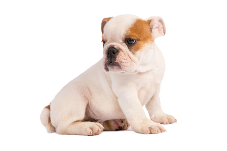 ugliness: English Bulldog puppy on white background