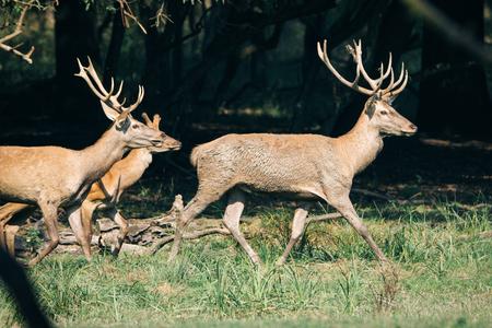 bellowing: Red deer in runting season Stock Photo