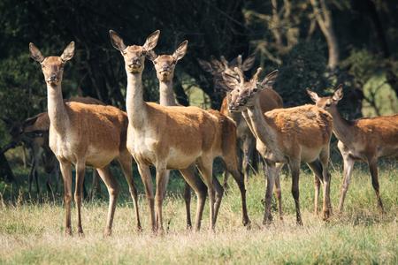 bellowing: Red deer in mating season
