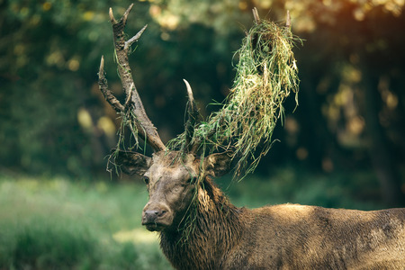 cervus: Red deer (Cervus elaphus) portrait