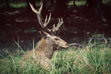 cervus: Red deer (Cervus elaphus) Stock Photo