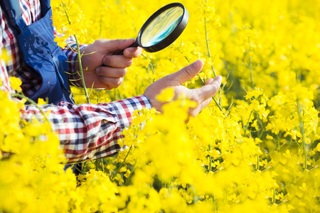 Farmer Inspecting rapeseed Stock Photo