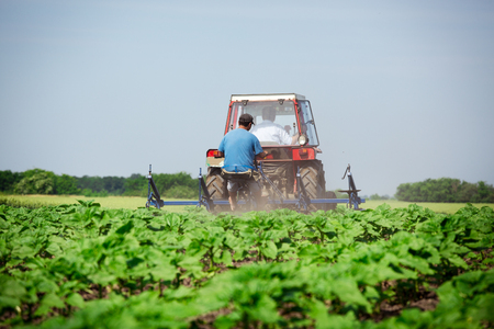 Young sunflower weed plowing Stock Photo