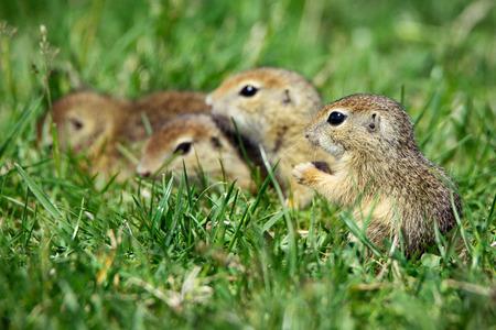 European Ground Squirrel in natural habitat