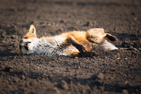 Wounded red fox Reklamní fotografie