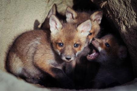 Beautiful european red fox cubs near the burrow ( Vulpes Vulpes) Foto de archivo