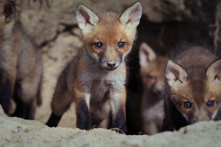 Beautiful european red fox cubs near the burrow ( Vulpes Vulpes) Foto de archivo - 101171757