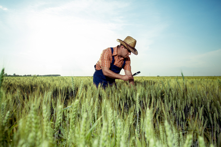 Farmer checking the quality of wheat with magnifying glass