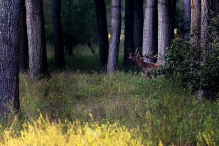 Red Deer male roars