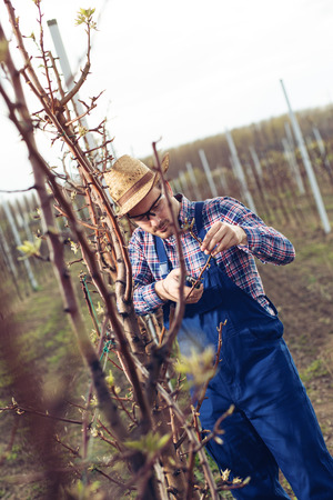 Farmer pruning fruit trees in orchard Banque d'images
