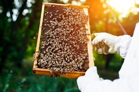 Beekeeper inspecting honeycomb frame at apiary at the summer day. Stock Photo