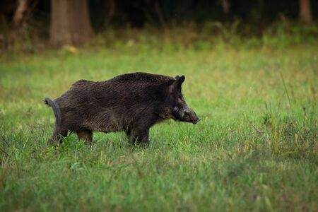 Wild boar walking in forest .Wildlife in natural habitat.