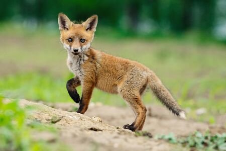 Young Red fox, Vulpes vulpes