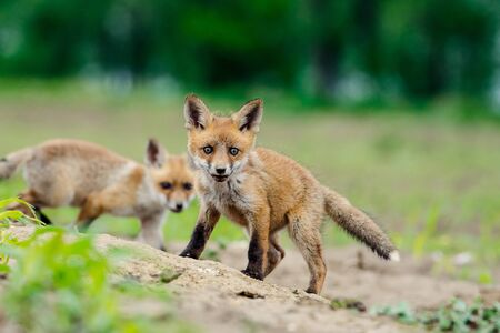 Young Red fox. Sweet fox sibling discovering the countryside. Standard-Bild