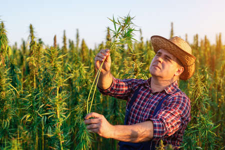 Farmer growing hemp and checking plants growth. Standard-Bild - 154197383