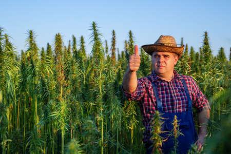 Farmer growing hemp and checking plants growth.