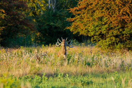 Red deer stag roaring during rutting season in autumn. Standard-Bild - 155383018