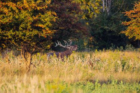 Red deer stag roaring during rutting season in autumn. Standard-Bild