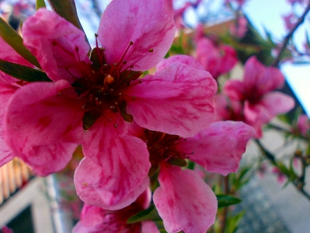 Flower nectarines