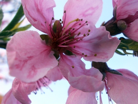 Flower nectarines close up