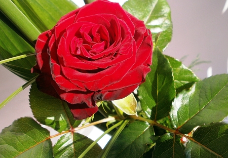 briar: Red roses Stock Photo