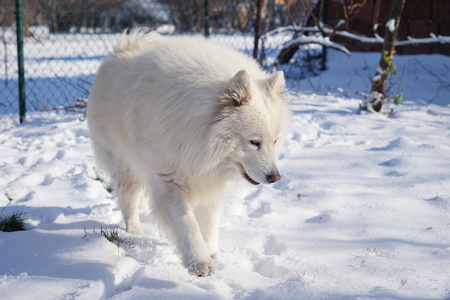 Siberian Samoyed on snow outside
