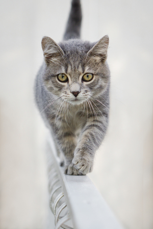 Young gray cat alone on a fence, isolated with blur background