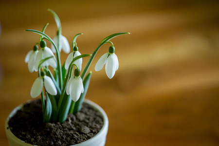 Beautyfull snowdrops in white pot on table in kitchen isolated with blurred background