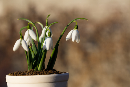 isolated snowdrops in a pot with blured brown bacground Stock Photo