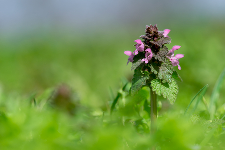 Close up of red dead-nettle (Lamium purpureum) with green blurred background.