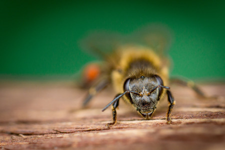 Close up bee standing on a wood board, on the outside Stock Photo