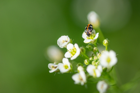 Bug collecting pollen on flower of Shepherds purse, Capsella bursa-pastoris.