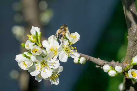 White plum flower choice image flower decoration ideas bee on white plum flower with pollen in springtime close up stock bee on white plum mightylinksfo Choice Image
