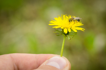 Close up of male fingers holding taraxacum flower with bee collecting pollen on flower.